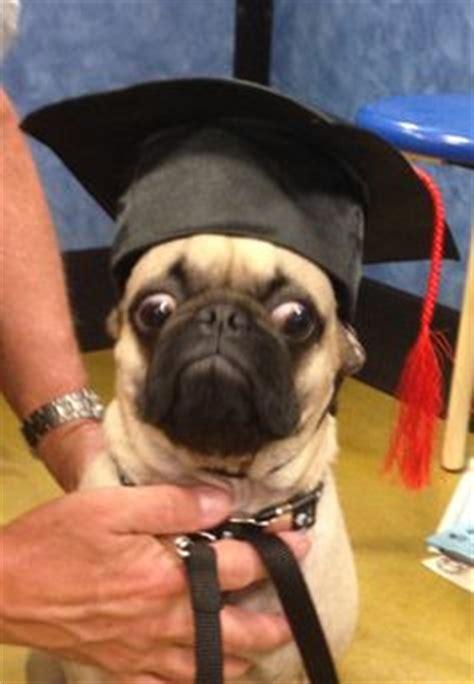 grumpy pug grumpy pug on