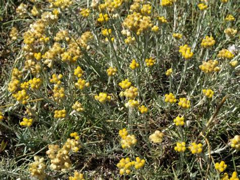 Immortelle Des Sables by Immortelle Des Sables Helichrysum Stoechas