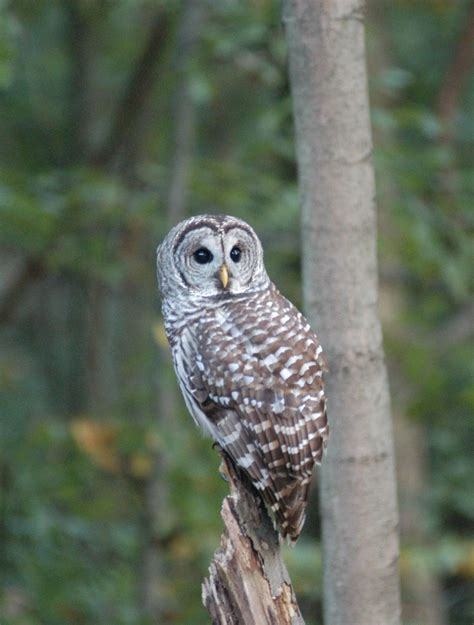 barred owl beautiful animol