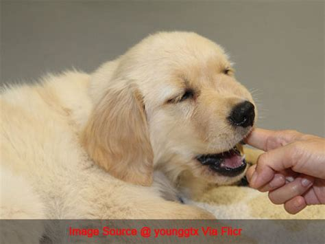 golden retriever teeth golden retriever news stories pictures products golden retrievers home