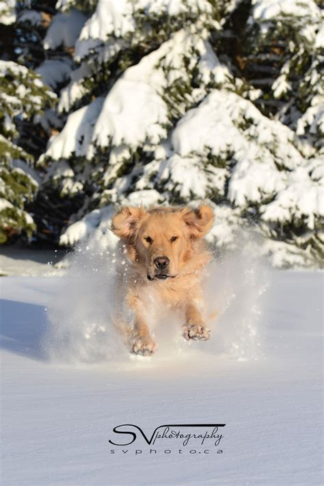 golden retriever driving golden retriever in snow svphotography