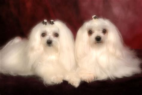 maltese puppies for sale maltese puppies puppy breeders tedlillyfanclub