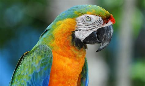 colorful macaw wallpaper macaw colorful parrot wallpapers 1280x768 277114