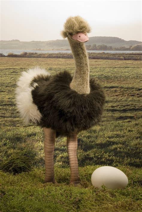 koesen usa  strauss ostrich