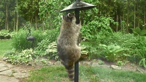 raccoon on the bird feeder youtube