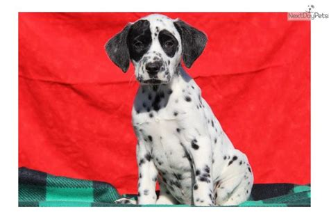 dalmatian puppies for sale in pa 17 best ideas about dalmatian puppies for sale on dalmatians dalmatian