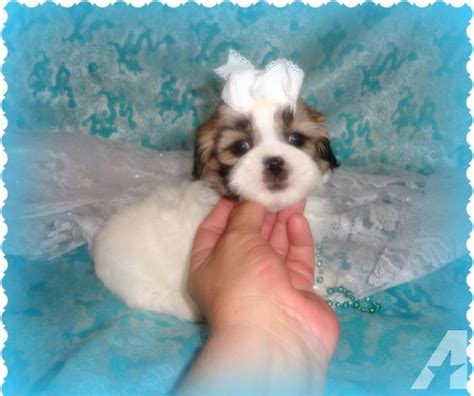 shih tzu puppies for sale in michigan shih tzu puppies for sale michigan