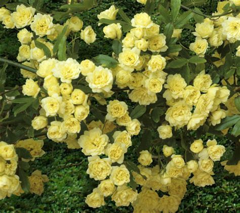 cottage farms roses cottage farms 6 cascade groundcover golden roses