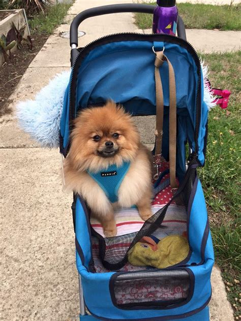 how to your pomeranian how to safely take your pomeranian with you pomeranian information care