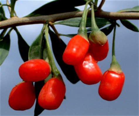 Goji Berry Indonesia herbalgojiberry khasiat buah goji berry
