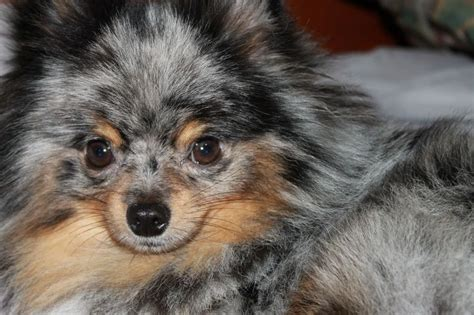 blue teacup pomeranian best 25 blue merle pomeranian ideas on merle pomeranian pomeranian dogs