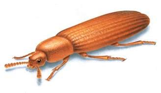brown beetles in bedroom brown beetles in bedroom memsaheb net