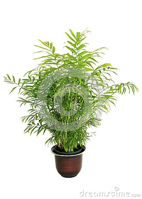 small potted plant isolated on white stock photo image small potted bamboo palm isolated on white stock photo