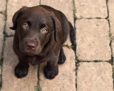 chocolate labrador puppy chocolate lab puppy looking up by jody trappe photography