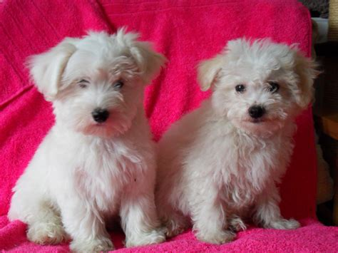 bichon frise puppy for sale bichon frise puppies for sale southport merseyside pets4homes