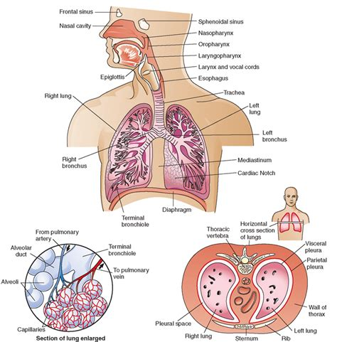 cross section of lung the respiratory system structure and function nursing