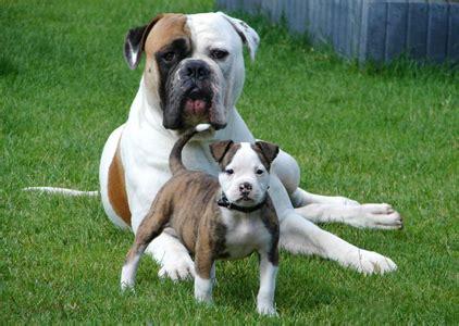 American Bulldog Shedding by American Bulldog Temperament American Bulldog Breeders