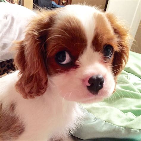 king charles puppy 10 week cavalier king charles puppy cavie king