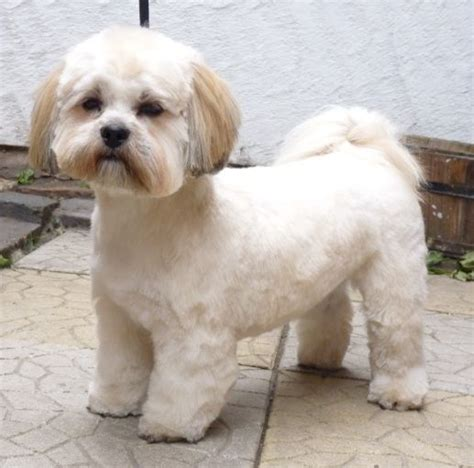 hair cut for maltese around the mouth 25 best ideas about lhasa apso on pinterest lhasa apso