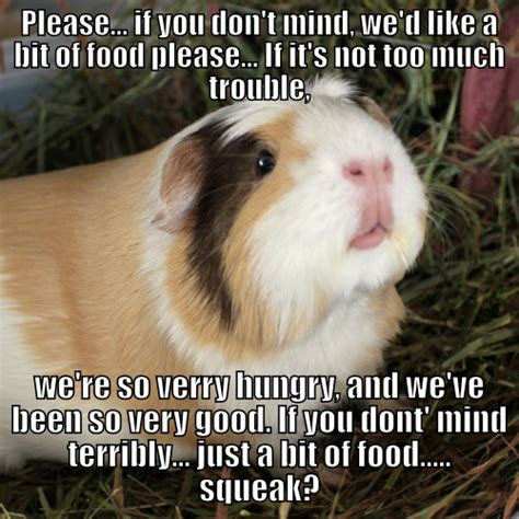 Guinea Pig Meme - my guinea pig memes squeak hearts