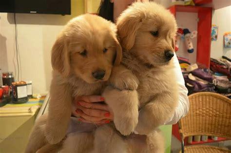 cachorros golden retriever hermosos cachorros golden retriever 500 000 en mercado libre