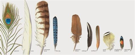 The Nonfiction Detectives Feathers Not Just For Flying Feathers Meanings