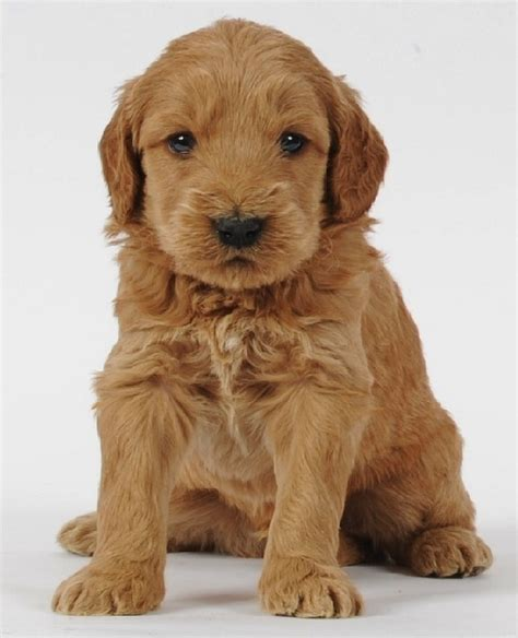 mini goldendoodles hypoallergenic mini goldendoodle if i were getting a puppy