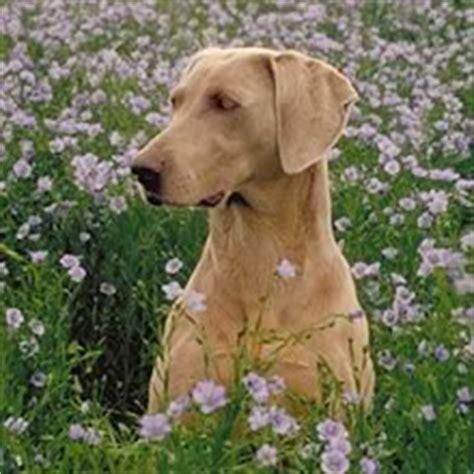 weimaraner puppies for sale in va image gallery weimaraner