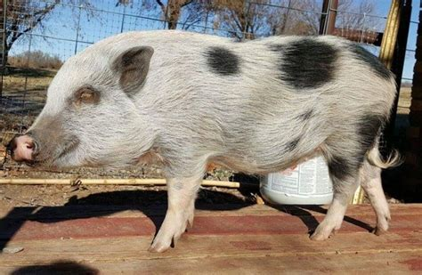 Do Pigs Shed by Blowing Coat Mini Pig Shedding Faq