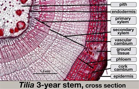 cross section of a woody stem 25 best images about bio on pinterest life cycles ferns