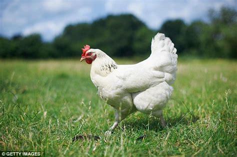 range chicken       breeding