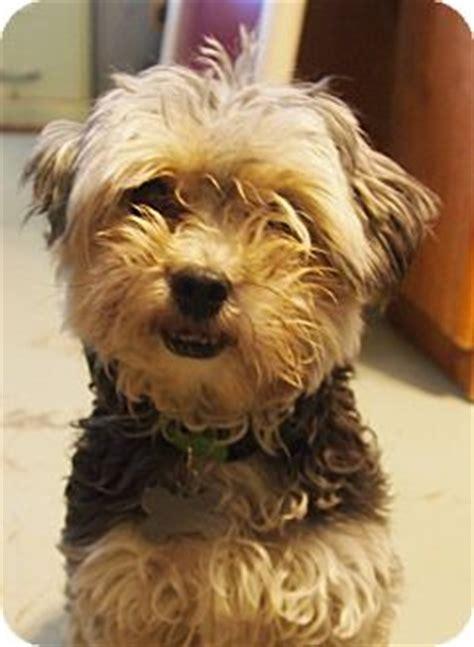 bichon yorkie rescue prole ia bichon frise yorkie terrier mix meet usher a for adoption