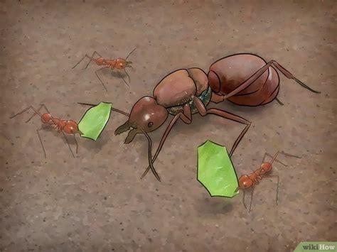 come sterminare le formiche in casa come identificare una formica 7 passaggi