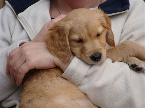 golden retriever puppies for sale in cornwall kc reg traditional golden retriever puppies saltash cornwall pets4homes