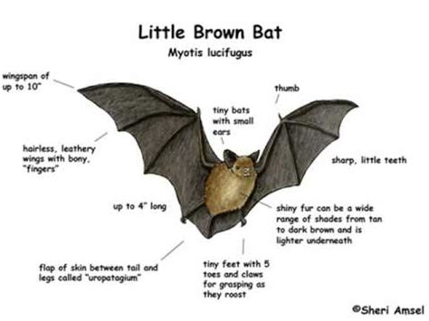 little brown bat calls youtube