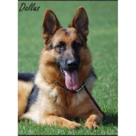 free puppies in nh vom haus hutfeld german shepherd breeder in wilton new hshire listing id 9674