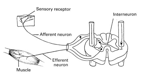 motor efferent neurons efferent