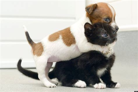 puppy and kitten pictures puppy kitten think they are buttons the the cat bond