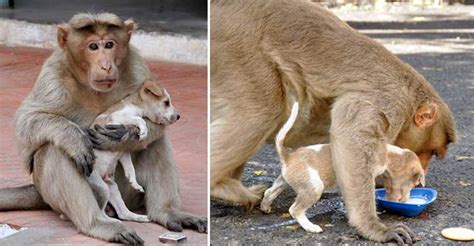 monkey adopts puppy monkey adopts a puppy defends it from stray dogs and lets it eat heroviral