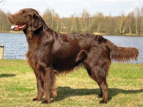 libro flatcoated retrievers the world about dog flat coated retriever