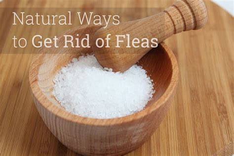 how to get rid of fleas in my house how to get rid of fleas in the house