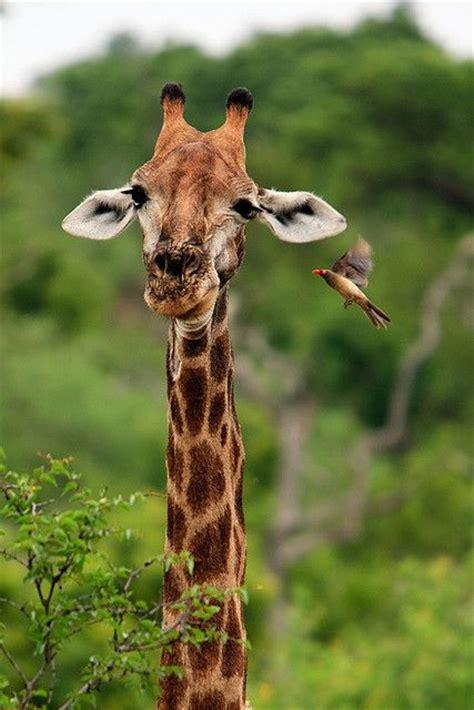 The Giraffes Cousins 17 best images about giraffes kin okapi on africa giraffe species and san diego zoo