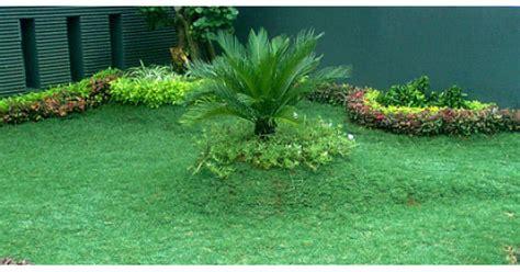 Bibit Rumput Gajah jual bibit rumput gajah mini