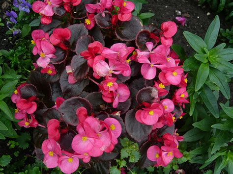 begonia fibrous gardenerstips co uk blog brian pettinger flickr