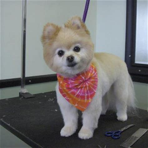 how to do a cut on a pomeranian pomeranian haircuts teddy search results hairstyle galleries