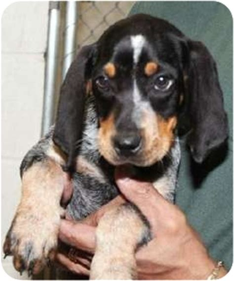 blue tick hound puppies for adoption blue afghan hound for sale breeds picture
