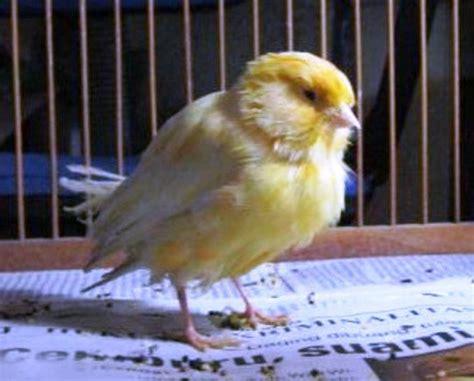 Obat Cacing Kenari 7 macam penyakit yang sering menyerang burung kenari