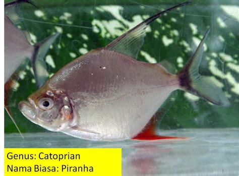 Fishing 15 Ikan kumpaw breaker fishing ikan larangan terlarang dari