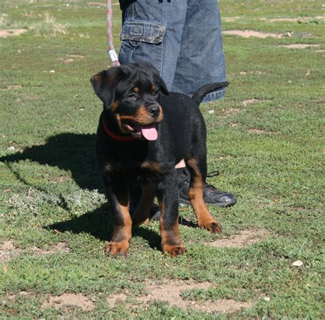 rottweiler club of alaska dogs puppies akc german rottweiler puppy 3 months breeds picture