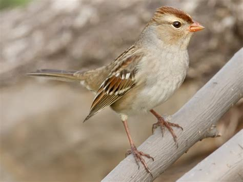 ecobirder field sparrow identification
